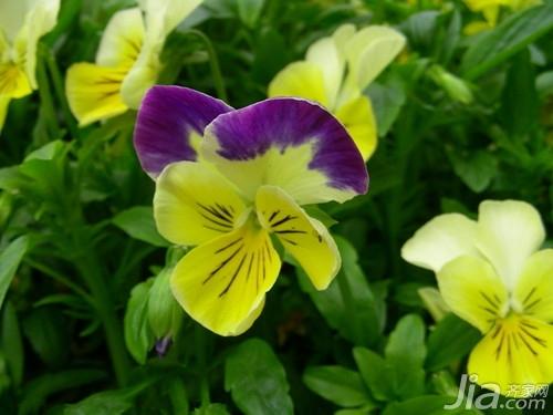 三色堇的传说  三色堇的花语资讯生活